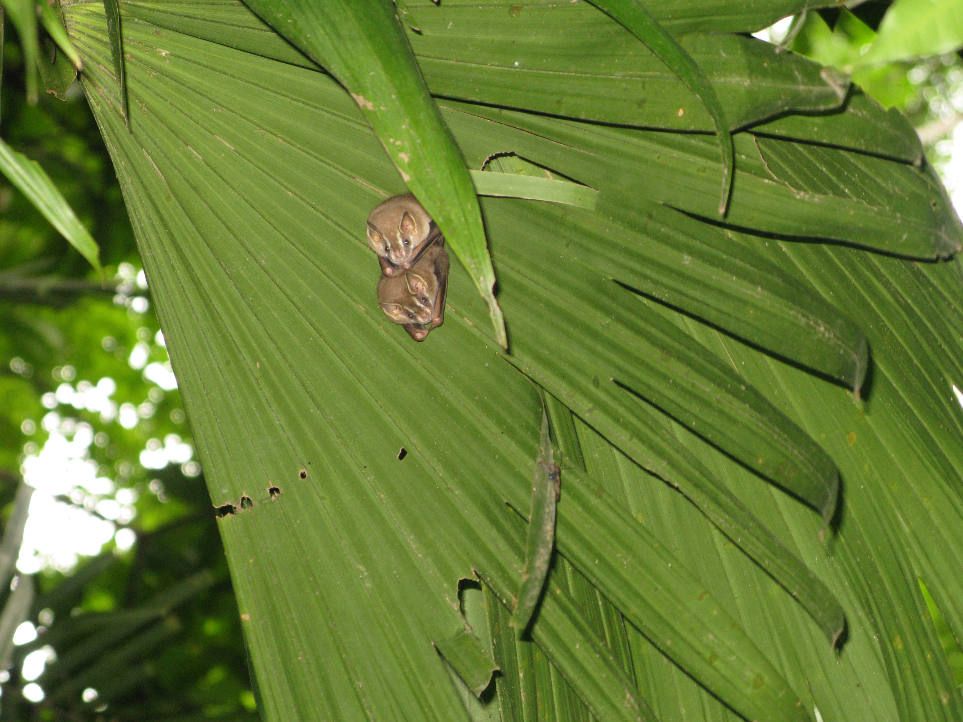 These cute little bats are so small and lightweight that a big palm leaf is all the shelter they need.
