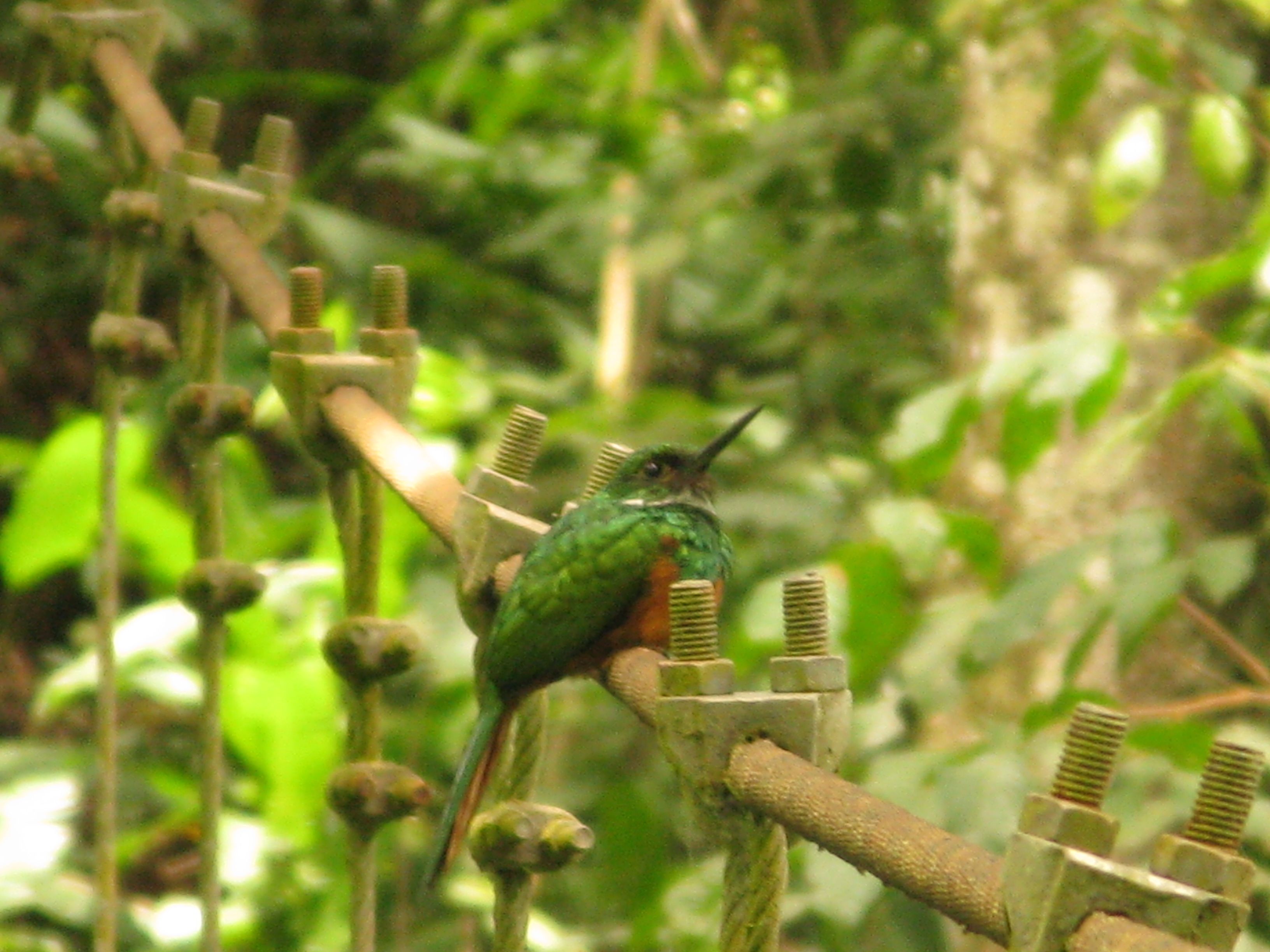 This little rufous tailed jacamar was another treat that got our guide, Andrei, really pumped.  There are two species of jacamar found in this part of Costa Rica, and the rufous tailed is by far the most rare...lucky us!  Andrei was jumping up and down after this guy flew away.